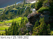 Mountain goat (Oreamnos americanus), Glacier National Park, Montana, Rocky Mountains, July. Стоковое фото, фотограф Thomas Lazar / Nature Picture Library / Фотобанк Лори