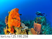 Купить «Diver on coral reef with a Giant barrel sponge (Xestospongia muta), Elephant ear sponge (Agelas clathrodes) and corals, San Salvador Island / Colombus Island, Bahamas. Caribbean. June 2013.», фото № 25190258, снято 18 июня 2019 г. (c) Nature Picture Library / Фотобанк Лори