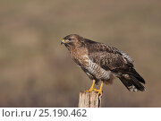 Купить «Common Buzzard (Buteo buteo) on fence post, Cremlingen, Lower Saxony, Germany, March.», фото № 25190462, снято 7 декабря 2019 г. (c) Nature Picture Library / Фотобанк Лори