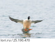 Купить «Goosander (Mergus merganser) male landing,  Lake Geneva, Switzerland, March.», фото № 25190470, снято 27 мая 2020 г. (c) Nature Picture Library / Фотобанк Лори