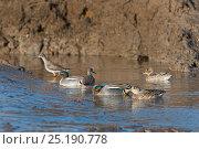 Купить «Eurasian Teal (Anas crecca) in tidal creek North Norfolk, England, UK. March.», фото № 25190778, снято 27 мая 2020 г. (c) Nature Picture Library / Фотобанк Лори
