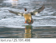 Купить «Goosander (Mergus merganser) female landing, Lake Geneva, Switzerland, March.», фото № 25191498, снято 27 мая 2020 г. (c) Nature Picture Library / Фотобанк Лори