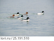 Купить «Goosander (Mergus merganser) group of four males and two females, Lake Geneva, Switzerland, March.», фото № 25191510, снято 27 мая 2020 г. (c) Nature Picture Library / Фотобанк Лори