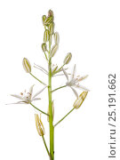 Купить «Spiked star of Bethlehem (Ornithogalum narbonense) in flower, Italy, May.», фото № 25191662, снято 26 апреля 2018 г. (c) Nature Picture Library / Фотобанк Лори