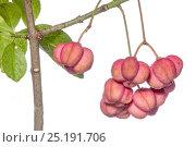 Купить «Common spindle tree (Euonymus europaeus) poisonous berries containing terpenes, caffeine and theobromine. Podere Montecucco, near Orvieot, Umbria, Italy, October.», фото № 25191706, снято 16 июля 2018 г. (c) Nature Picture Library / Фотобанк Лори