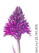 Купить «Pyramidal Orchid (Anacamptis pyramidalis) in flower, Sibillini, Umbria, Italy, June.», фото № 25191810, снято 23 июля 2018 г. (c) Nature Picture Library / Фотобанк Лори