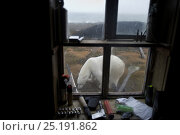 Купить «Polar bear (Ursus maritimus) outside window of building, Wrangel Island, Far Eastern Russia, September.», фото № 25191862, снято 16 октября 2018 г. (c) Nature Picture Library / Фотобанк Лори