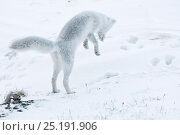 Купить «Arctic fox (Vulpes lagopus) in winter fur hunting for lemmings, Wrangel Island, Far Eastern Russia, October.», фото № 25191906, снято 21 января 2019 г. (c) Nature Picture Library / Фотобанк Лори