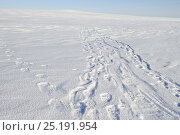 Купить «Polar bear (Ursus maritimus) foot prints in snow, Wrangel Island, Far Eastern Russia.», фото № 25191954, снято 16 июня 2019 г. (c) Nature Picture Library / Фотобанк Лори