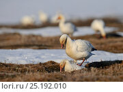 Купить «Snow geese (Chen caerulescens caerulescens) mating, Wrangel Island, Far Eastern Russia, May.», фото № 25192010, снято 17 января 2019 г. (c) Nature Picture Library / Фотобанк Лори