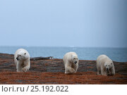 Купить «Polar bear (Ursus maritimus) group of three on coast of Wrangel Island, Far Eastern Russia, September.», фото № 25192022, снято 28 декабря 2019 г. (c) Nature Picture Library / Фотобанк Лори