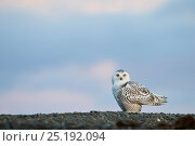 Купить «Snowy owl (Bubo scandiacus) on ground, Wrangel Island, Far Eastern Russia, September.», фото № 25192094, снято 8 ноября 2018 г. (c) Nature Picture Library / Фотобанк Лори