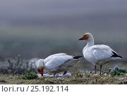 Купить «Snow geese (Chen caerulescens caerulescens) turning eggs at nest, orange colour on face from iron rich soil. Wrangel Island, Far Eastern Russia, June.», фото № 25192114, снято 22 октября 2018 г. (c) Nature Picture Library / Фотобанк Лори