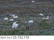 Купить «Snow goose (Chen caerulescens caerulescens) chasing Arctic fox (Vulpes lagopus) from nest sight, Wrangel Island, Far Eastern Russia, June.», фото № 25192118, снято 27 мая 2019 г. (c) Nature Picture Library / Фотобанк Лори