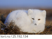 Купить «Arctic fox (Vulpes lagopus)  in white winter fur resting, with tail wrapped around, Wrangel Island, Far Eastern Russia, October.», фото № 25192134, снято 21 сентября 2018 г. (c) Nature Picture Library / Фотобанк Лори
