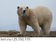 Купить «Polar bear (Ursus maritimus) portrait, Wrangel Island, Far Eastern Russia, September.», фото № 25192170, снято 22 января 2019 г. (c) Nature Picture Library / Фотобанк Лори