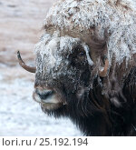 Купить «Musk ox (Ovibos moschatus) covered in snow, Wrangel Island, Far Eastern Russia, September.», фото № 25192194, снято 23 октября 2018 г. (c) Nature Picture Library / Фотобанк Лори