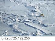 Купить «Polar bear (Ursus maritimus) with cub walking across ice field, Wrangel Island, Far Eastern Russia, March.», фото № 25192250, снято 17 июля 2019 г. (c) Nature Picture Library / Фотобанк Лори