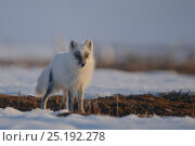 Купить «Arctic fox (Vulpes lagopus) in winter coat, Wrangel Island, Far Eastern Russia, May 2011.», фото № 25192278, снято 27 мая 2019 г. (c) Nature Picture Library / Фотобанк Лори