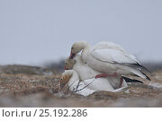 Купить «Snow geese (Chen caerulescens caerulescens) aggresive male biting neck of another male mating with female, Wrangel Island, Far Eastern Russia, June.», фото № 25192286, снято 16 января 2019 г. (c) Nature Picture Library / Фотобанк Лори