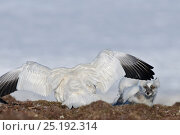 Купить «Snow goose (Chen caerulescens caerulescens) with wings out stretched, chasing way Arctic fox (Vulpes lagopus) Wrangel Island, Far Eastern Russia, June.», фото № 25192314, снято 19 января 2019 г. (c) Nature Picture Library / Фотобанк Лори