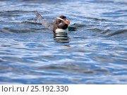 Купить «Fiordland crested penguin (Eudyptes pachyrhynchus) swimming at sea. Off Stewart Island, New Zealand, December. Vulnerable species.», фото № 25192330, снято 20 июня 2019 г. (c) Nature Picture Library / Фотобанк Лори