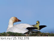 Купить «Snow geese (Chen caerulescens caerulescens) with rusty orange face from iron rich soil in which it forages. With newly hatched chick, Wrangel Island, Far Eastern Russia, June.», фото № 25192378, снято 23 октября 2019 г. (c) Nature Picture Library / Фотобанк Лори