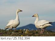 Купить «Snow geese (Chen caerulescens caerulescens) pair with chicks at nest,  Wrangel Island, Far Eastern Russia, June.», фото № 25192394, снято 22 января 2019 г. (c) Nature Picture Library / Фотобанк Лори