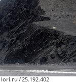 Купить «Polar bear (Ursus marinus) in distance, on cliffs above sea, Wrangel Island, Far Eastern Russia, September.», фото № 25192402, снято 23 марта 2019 г. (c) Nature Picture Library / Фотобанк Лори