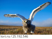 Купить «Snowy owl (Bubo scandiacus) fledgling flapping wings, Wrangel Island, Far Eastern Russia, August.», фото № 25192546, снято 19 января 2019 г. (c) Nature Picture Library / Фотобанк Лори