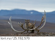 Купить «Arctic fox (Vulpes lagopus) standing nest to Reindeer skull, Wrangel Island, Far Eastern Russia, August.», фото № 25192570, снято 26 мая 2019 г. (c) Nature Picture Library / Фотобанк Лори