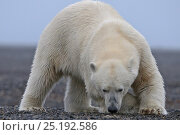 Купить «Polar bear (Ursus maritimus) sniffing the ground, Wrangel Island, Far Eastern Russia, September.», фото № 25192586, снято 23 января 2019 г. (c) Nature Picture Library / Фотобанк Лори