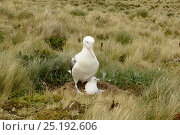 Купить «Royal albatross (Diomedea epomophora) with young chick, 7-10 days old. Campbell Island, New Zealand, March.», фото № 25192606, снято 18 июня 2019 г. (c) Nature Picture Library / Фотобанк Лори