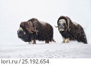 Купить «Musk oxen (Ovibos moschatus) Wrangel Island, Far Eastern Russia, March.», фото № 25192654, снято 16 июня 2019 г. (c) Nature Picture Library / Фотобанк Лори