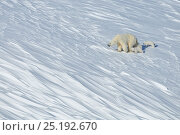Купить «Polar bear (Ursus maritimus) mother with three young cubs, Wrangel Island, Far Eastern Russia, March.», фото № 25192670, снято 23 января 2019 г. (c) Nature Picture Library / Фотобанк Лори