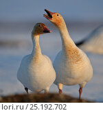 Купить «Snow geese (Chen caerulescens caerulescens) pair in courtship display, Wrangel Island, Far Eastern Russia, May.», фото № 25192702, снято 19 апреля 2019 г. (c) Nature Picture Library / Фотобанк Лори