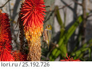 Adult male Silvereye (Zosterops lateralis) feeding on Kniphofia inflorescence. Havelock North, Hawkes Bay, New Zealand, July. Стоковое фото, фотограф Brent Stephenson / Nature Picture Library / Фотобанк Лори
