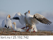 Купить «Snow geese (Chen caerulescens caerulescens) fighting, Wrangel Island, Far Eastern Russia, June.», фото № 25192742, снято 19 сентября 2019 г. (c) Nature Picture Library / Фотобанк Лори