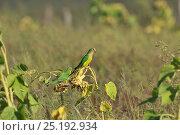 Peach-fronted Parakeet (Aratinga aurea) feeding on sunflower near Serra da Canastra National Park,Cerrado Region, Minas Gerais State, Southeastern Brazil. Стоковое фото, фотограф Luiz Claudio Marigo / Nature Picture Library / Фотобанк Лори