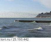 Купить «Стая птиц над морем, мыс Видный, Хоста», фото № 25193442, снято 3 февраля 2017 г. (c) DiS / Фотобанк Лори