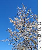 Купить «Цветущее фруктовое дерево на фоне голубого неба», фото № 25193482, снято 5 апреля 2016 г. (c) DiS / Фотобанк Лори