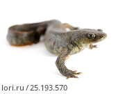 Купить «Spanish Ribbed Newt (Pleurodeles waltl) against a white background. Captive occurs in Iberian Peninsula and Morocco.», фото № 25193570, снято 12 декабря 2017 г. (c) Nature Picture Library / Фотобанк Лори