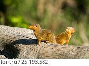Купить «Dwarf mongooses (Helogale parvula)  Masai Mara Game Reserve, Kenya», фото № 25193582, снято 4 августа 2020 г. (c) Nature Picture Library / Фотобанк Лори