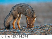 Patagonian grey fox (Lycalopex griseus) foraging, Valdes Peninsula, Chubut, Patagonia, Argentina. Стоковое фото, фотограф Gabriel Rojo / Nature Picture Library / Фотобанк Лори