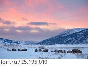American Bison (Bison bison) herd resting in the snow at sunrise, Lamar Valley, Yellowstone National Park, Wyoming, USA. December. Стоковое фото, фотограф Floris van Breugel / Nature Picture Library / Фотобанк Лори