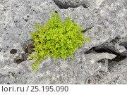 Купить «Stunted rowan (Sorbus aucuparia) growing in grike of limestone pavement, Gait Barrows, Lancashire, England, UK, May.», фото № 25195090, снято 23 марта 2018 г. (c) Nature Picture Library / Фотобанк Лори