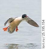 Купить «Goosander (Mergus merganser) male  Lake Geneva, Switzerland, March.», фото № 25195154, снято 27 мая 2020 г. (c) Nature Picture Library / Фотобанк Лори