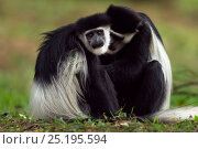 Купить «Eastern Black-and-white Colobus (Colobus guereza) monkeys grooming. Kakamega Forest National Reserve, Western Province, Kenya», фото № 25195594, снято 14 ноября 2019 г. (c) Nature Picture Library / Фотобанк Лори