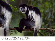 Купить «Eastern Black-and-white Colobus (Colobus guereza) sitting in a tree. Kakamega Forest National Reserve, Western Province, Kenya», фото № 25195734, снято 21 января 2020 г. (c) Nature Picture Library / Фотобанк Лори