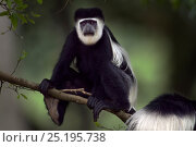 Купить «Eastern Black-and-white Colobus (Colobus guereza) sitting in a tree. Kakamega Forest National Reserve, Western Province, Kenya», фото № 25195738, снято 21 января 2020 г. (c) Nature Picture Library / Фотобанк Лори